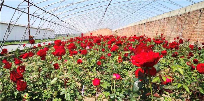 玫瑰种植技术示范及深加工技术研究应用